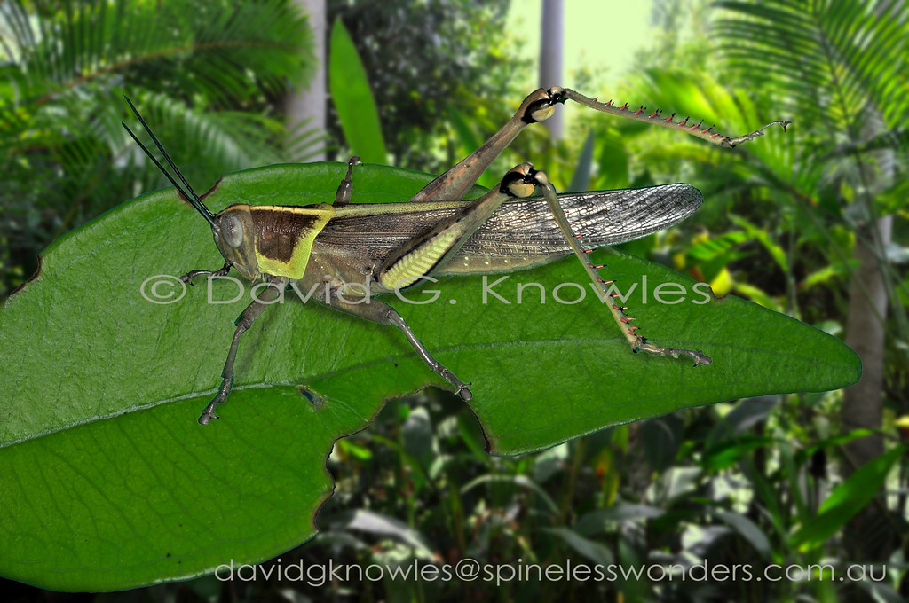 Giant Grasshopper (newly moulted adult)