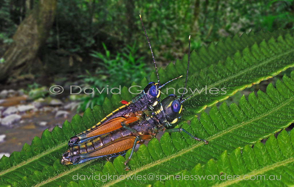 Male grasshopper mate guarding and with parasitic mite