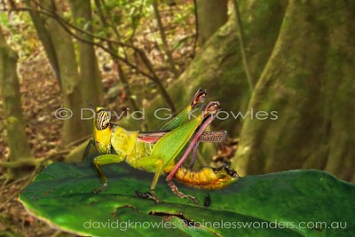 New Guinea Chlorotypidae (Monkey Grasshoppers, Matchstick Grasshoppers)