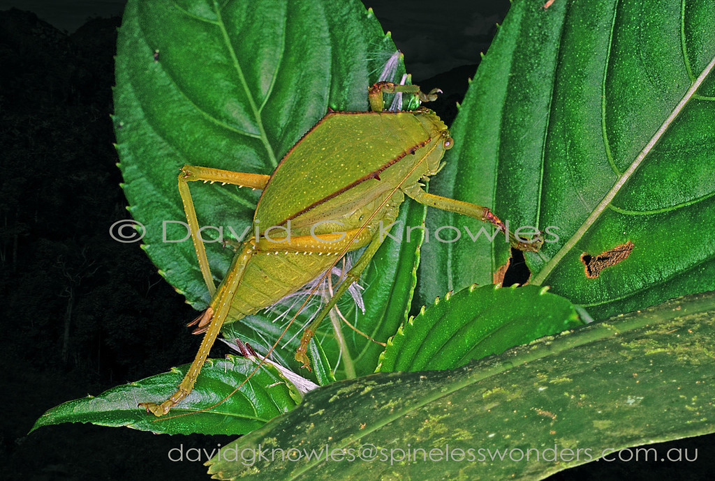 Casque-headed Katydid nymph in transit away from annoying photographer