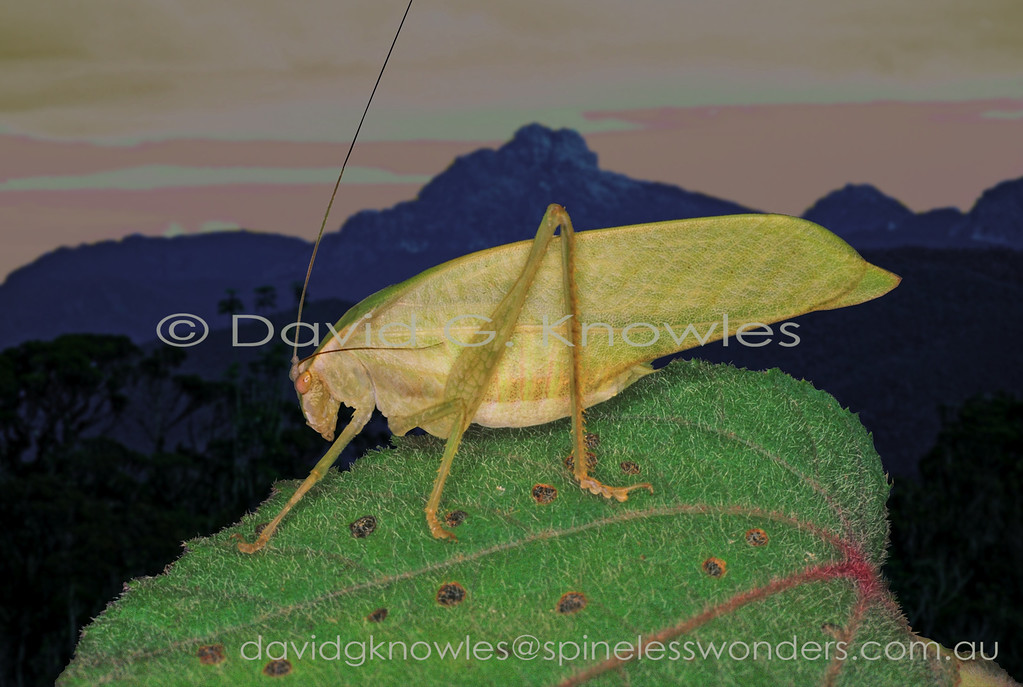 Male Katydid living leaf camouflage