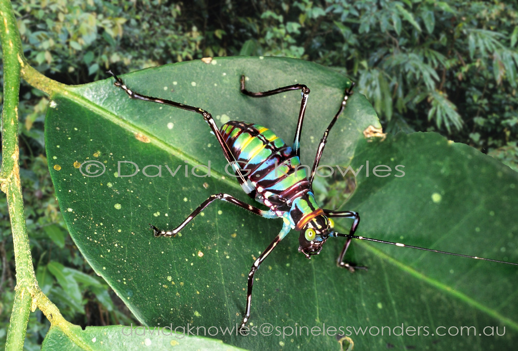 Unidentified katydid nymph showing warning colours