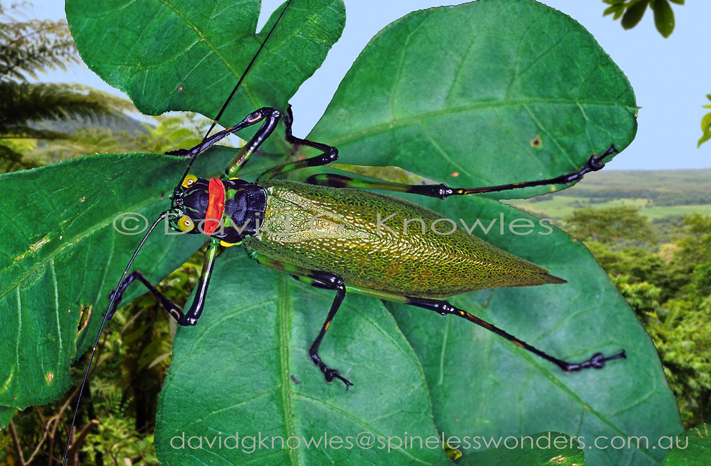 Unidentified  male katydid warning colours