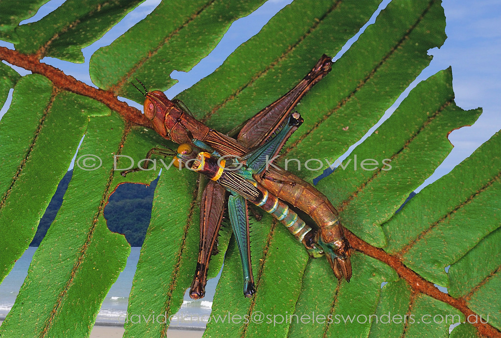 Monkey Grasshoppers mating