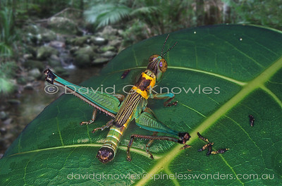 New Guinea Morabidae (Monkey Grasshoppers, Matchstick Grasshoppers)