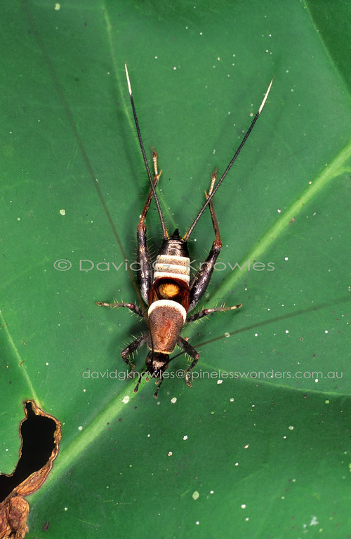 Leaf cricket as reverse wasp mimic