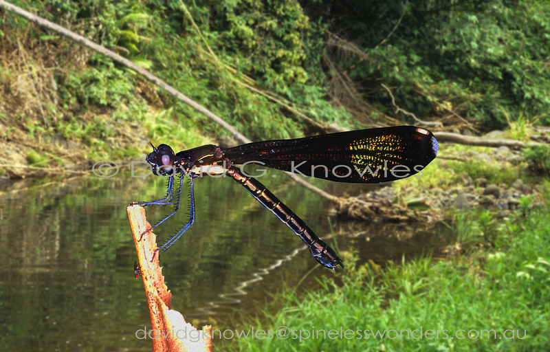 Papuan Jewels may well prove to have the most complex patterned and colourful wings of any New Guinea Damselfly