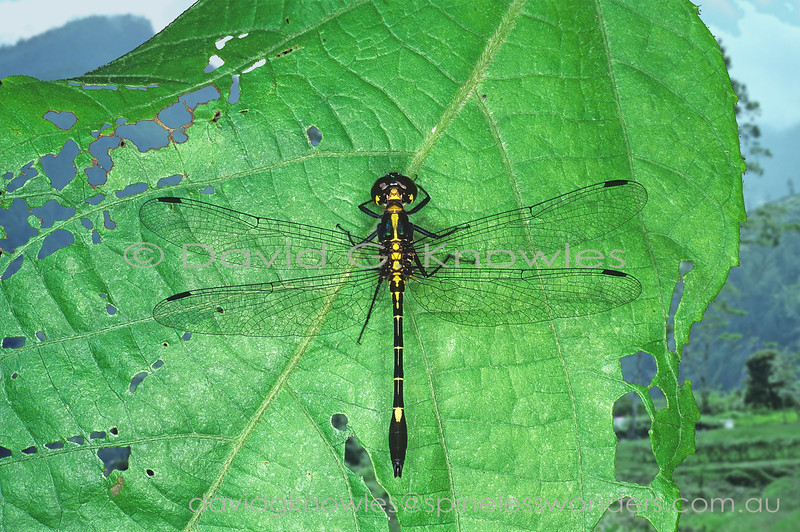 I am uncertain of the status of this Papuan Emerald dragonfly