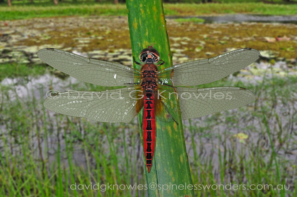 This species is a dragonfly of coastal areas including lagoons, estuaries and swamps. It will tolerate semi-saline water