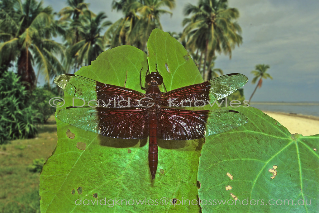 The Sultan is the largest member of its Family looking like a giant male Grasshawk (Neurothemis spp.)