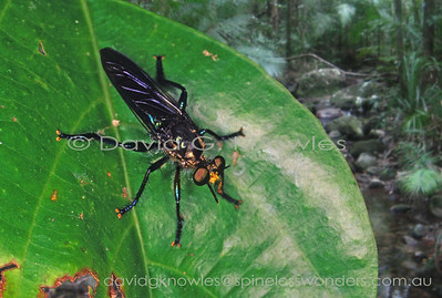 New Guinea Asilidae (Robber Flies)