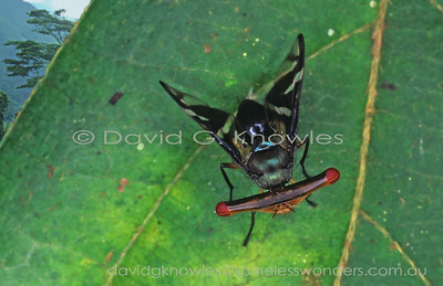 New Guinea Platystomatidae (Stalk-eyed Flies)