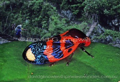 New Guinea Cercopidae (Spittle Bugs or Froghoppers)