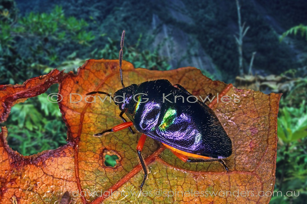 Jewel Bug feeding-warning colours