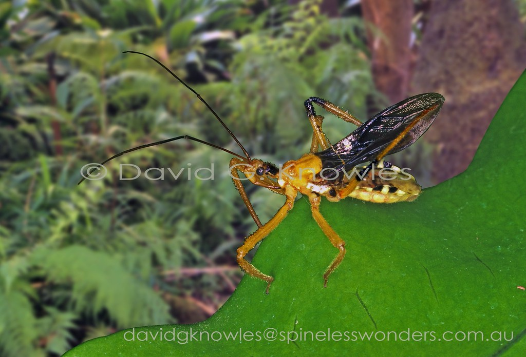 Assassin bug cleaning hindleg