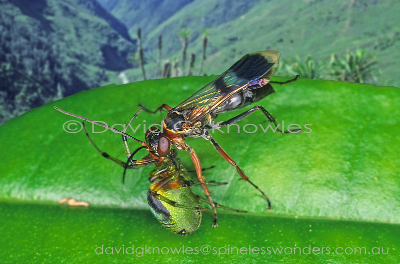 Spider wasp has stung  leaf-curling spider and prepares to carry to brood burrow