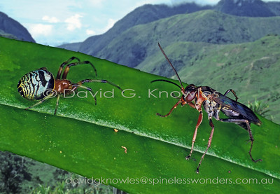 New Guinea Hymenoptera Pompilidae (Spider Wasps)