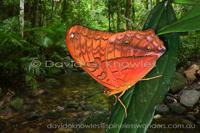 Cruisers are a sexually dichromatic species with twist - usually the male has the brighter, more complex patterns in most butterflies. In this case it is the female that exhibits the more pleasing outlook, at least to the human observer. A male Cruiser awaits unmated females alongside a rainforest creek that serves as a flyway for local flying animals. The Cruiser ranges from the Moluccas to New Guinea, Australia and the Solomon Islands. V. a. rebeli is the subspecies represented on mainland New Guinea
