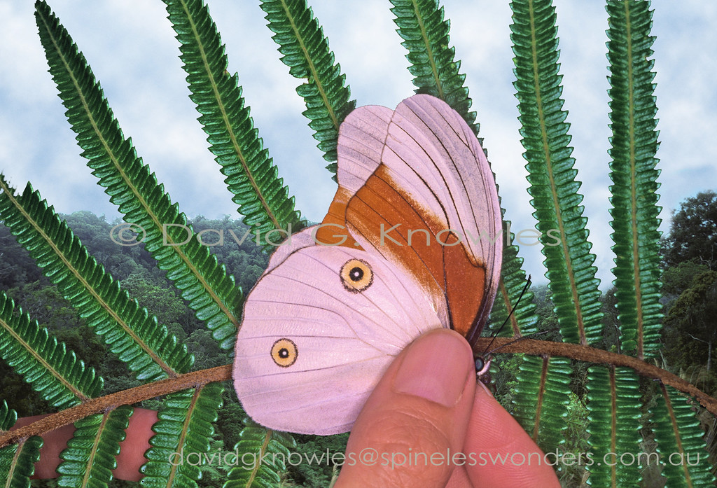 Unfortunately this wary butterfly had to be netted as it drove me crazy by allowing me to get close enough for a photo then flit off to a nearby fern just as I was about to press the shutter. The species is endemic to New Guinea
