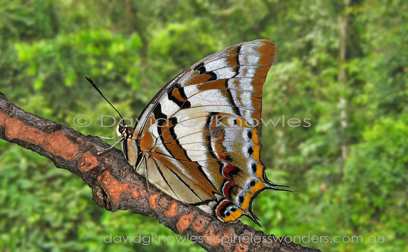 Tailed Emperors are arguably are one of the most powerful of fliers, often flashing through gardens in seconds. Seemingly to celebrate their mastery of the skies males tend to use higher perches, like sun-dappled trunks, than most butterflies (3 metres or higher) where they face downwards alternately twitching their hindwings in anticipation of a fine female passerby, or to give chase to an invading male. Charaxes sempronius extends from the Molucca and Lesser Sunda Islands of eastern Indonesia to New Guinea and northern and eastern Australia