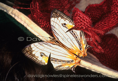 New Guinea Butterflies Nymphalidae (Emperors, Mapwings, Crows, Tigers et al)