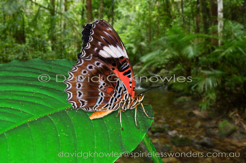 Cethosia is a genus composed of 14 described species ranging from India, Thailand, southern China to the Philippines, Malaysia, Indonesia, New Guinea, the Solomon Islands and northern Australia. Most species have many subspecies. These eye-catching male Eastern Red Lacewings, one at rest and the other basking, eye each other off on a territorial border. The subspecies C. (C.) damasippe and C. (C.) cenchrites occur on the New Guinea mainland