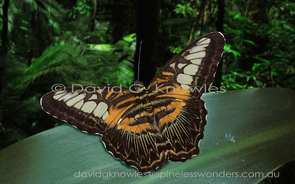 The Clipper tends to favour sunny patchs in forest clearings, margins, roadways, railways and riversides. Their flight is distinctive; swift with a shallow flap punctuated by bouts of gliding. Both sexes are similarly patterned though both sexes are subject to moderate variation with many described subspecies throughout their large distribution.This handsome jerky glider ranges from India, Thailand, China, Philippines, Malaysia and Indonesia to New Guinea and some south Pacific islands. New Guinea has three subspecies that tend to be browner dorsally