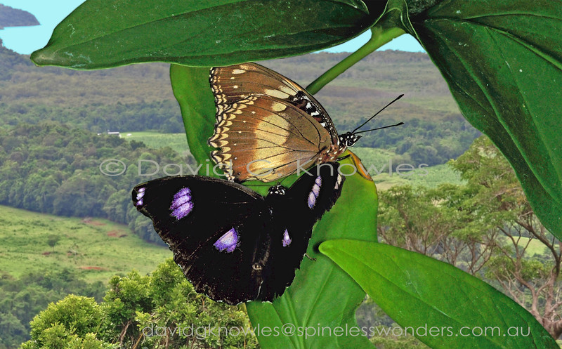 There are few butterflies that occur on Madagascar and Saudi Arabia as well as in Australasia and the south Pacific Islands. The males are consistent in their four purple-edged white blotches against a black background whereas females have the remarkable ability, at least in the eastern part of their range, to mimic or not to mimic poisonous butterflies they share habitats with. It is a mystery as to what determines this feminine choice. Maybe the density of available models (usually Crows) might be the clincher???  Both H. b. bolina and H. b. nerina occur on the New Guinea mainland
