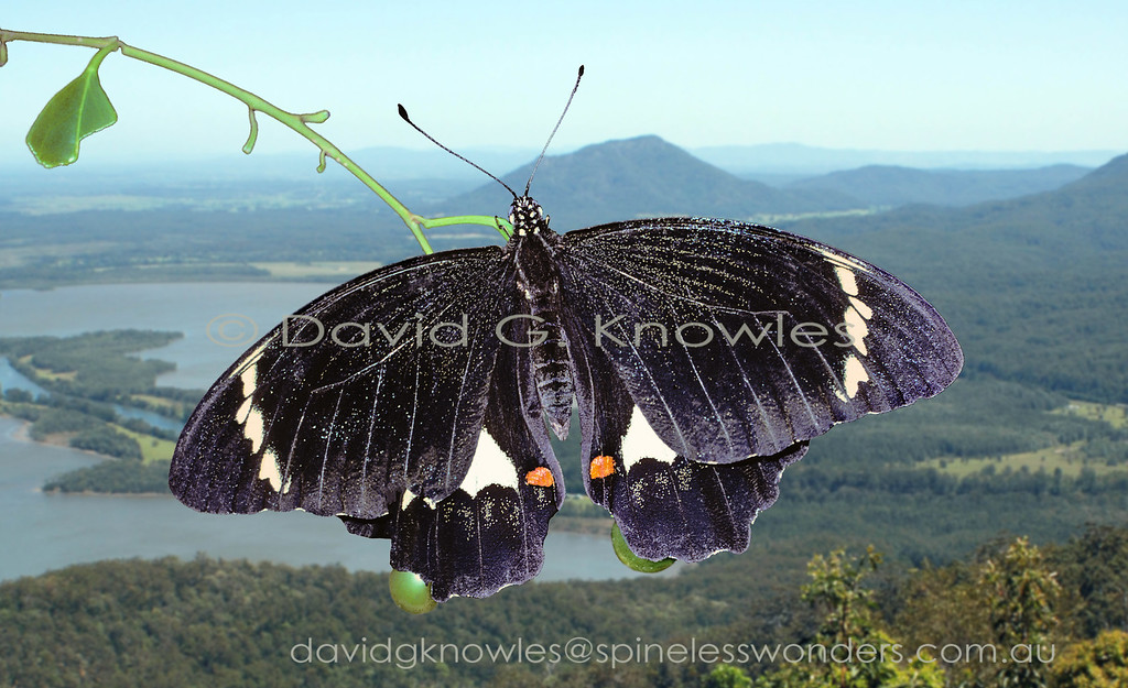 The Orchard Swallowtail is a good example of sexual dichromatism which means that the two sexes are differently coloured and patterned. What are the evolutionary benefits of this approach? Perhaps 'information overload' of the search image storage area of the predator brain. One more thing to remember particularly if both sexes inherit the bitter chemicals sequestered from the citrus foodplant by the caterpillar. We all know how bitter the skin of a sweet orange can be. Males of the New Guinea subspecies are generally recognisable as male Orchard Swallowtails whereas females maybe very pale. Papilio aegeus extends from the Islands surrounding, and including, New Guinea to eastern Australia