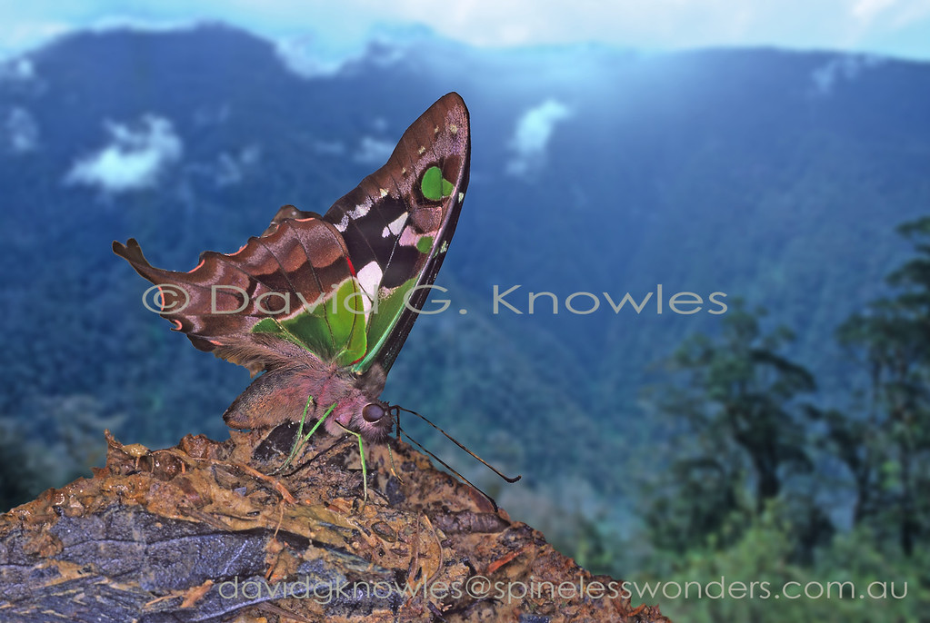 Graphium weiskei is a beautifully tinted small swallowtail of the New Guinea highlands. It has a sibling species Graphium stresemanni to the west in the Molucca Islands and another, G. macleayanus, to the south in eastern Australia. Mineral laden seeps occasionally are exposed on the steep hillsides characterising the New Guinea highlands, especially after a land slump which are not uncommon. Mineral salts are a valuable commodity for fauna in heavily leached rainforest environments