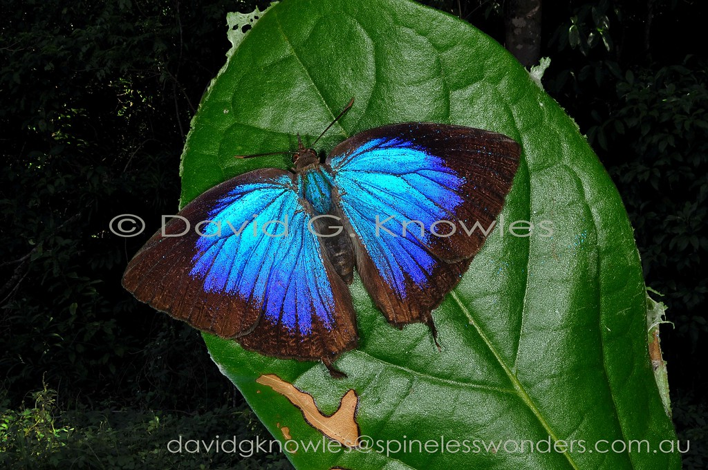 The Genus Arhopala contains over 200 species of relatively large, tailed Lycaenids ranging from muted purples, greens to brilliant silky blues. They spend most of their daylight activities in semi-shaded forest glades. The butterflys rarely bask with their metallic colours on show, usually one detects the flashes as they fly when disturbed. The genus ranges from the southern Himalayas, Thailand, China, Japan, Philippines, Malaysia, Indonesia, New Guinea, to Australia and the south Pacific. The Common Oakblue occurs from the Moluccas to New Guinea, Australia and some south Pacific Islands. A. m. novaeguianae, A. m. micale and A. m. centra occur on the New Guinea mainland