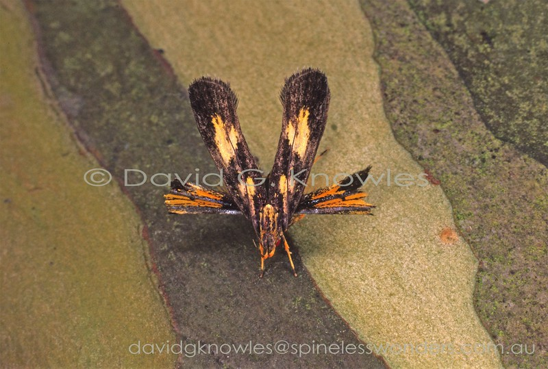 Some tropical long-horned moths have evolved an arrayment of the two pairs of wings in two planes to break up their normal outlines. This is a rare arrangement in four-winged insects. Some members of the Skipper family Hesperiidae approach this style. It would appear that this one has survived an attack judging by the sliced hindwings