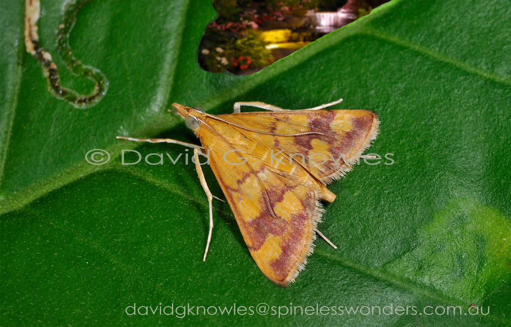 Pyrausta panopealis is cosmopolitan and extends throughout the equatorial tropics in the Americas, Africa, Asia, south east to New Guinea and northern Australia
