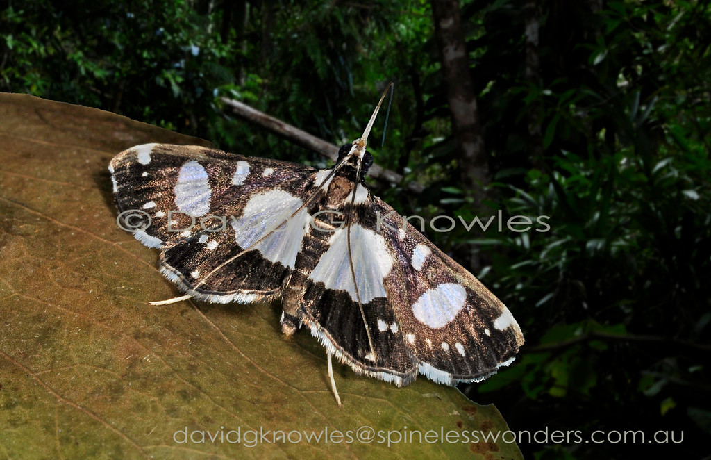 Glyphodes conjunctalis occurs from eastern Indonesia to New Guinea and northern Australia
