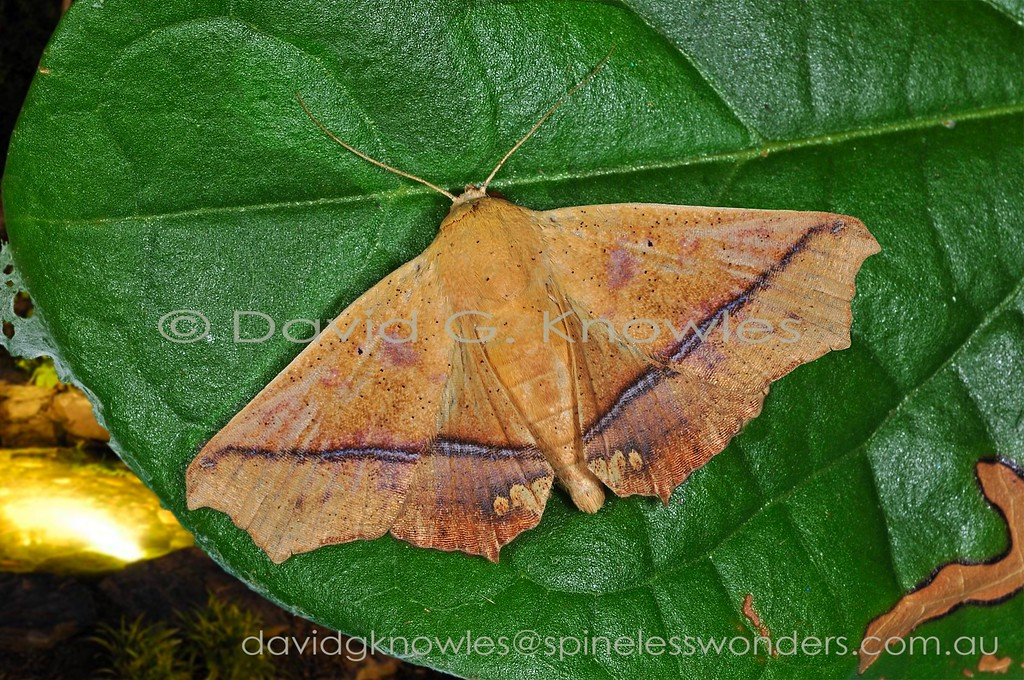 Xanthanomis is a small Australasian genus containing three described species. The two-stage camouflage system employed here is level one 'compact dead leaf with main vein accentuated'. Level two involves 'bite-marks at wing margins with forewing-tip emphasis'. The next question might be what bites the leaves? As this moth crosses the Wallace Line with leaf eating monkeys and apes on the western side and possums and cuscus on the eastern side. The only species to reach Australia extends from Peninsular Malaysia to Borneo, Indonesia, New Guinea into tropical northern Australia