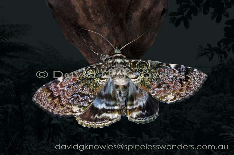 Cyclodes spectans is atypical of the wide variety of 'spectacled' owlet moths by virtue of the positioning of the two 'eyes': they are bunched at the base of the wing rather than half way towards the tip. This species extends from eastern Indonesia to New Guinea and Queensland north eastern Australia