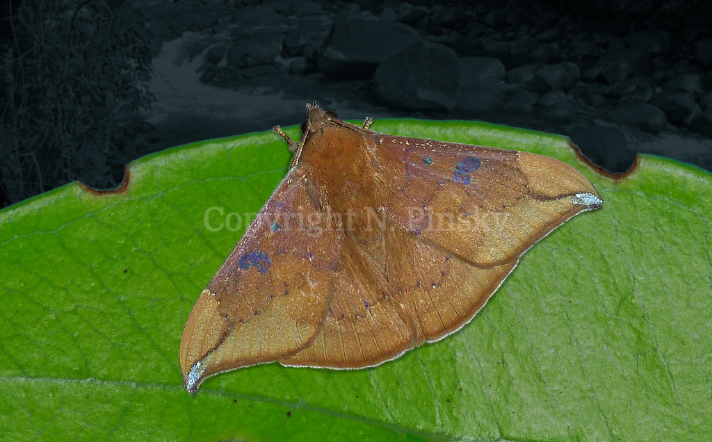 Platyja is one of many dead leaf camouflage practitioners in the large family Erebidae. The mauve patches probably mimic the iridescent reflections of shallow water slicks partially covering a dead leaf surface. Platyja umminia extends from India, China, Thailand, Japan south to Peninsular Malaysia, Indonesia then east to New Guinea and north eastern Australia