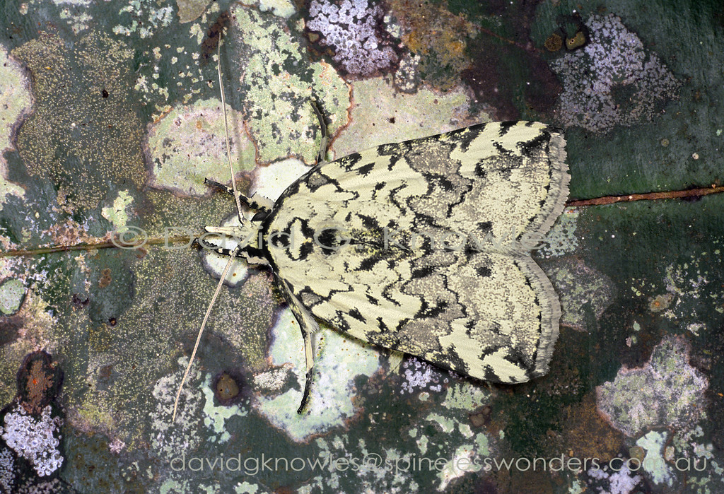 This moth is clearly a white lichen with drop shadow camouflage specialist. I suspect it has a foot in both camps though favouring bark backdrops rather than leaves as lichens growing on leaves tend to be planar. The folded frilly lichens are larger and more three dimensional and tend to populate trunks and logs. Nycteola extends from Sumatra and Java north to Borneo and the Philippines then south east to Ceram and New Guinea