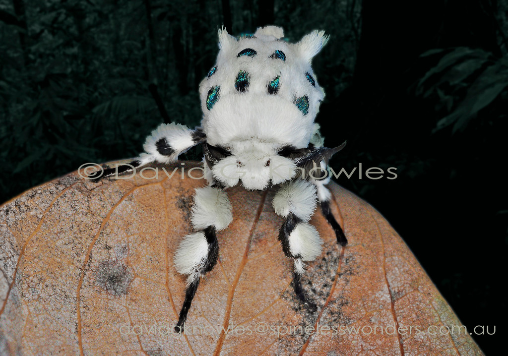 Plush might adequately describe this ermine clad lepidopteran creation with its 'peacock-eyed' cape. I can't understand why beasts of this calibre aren not made into soft toys for children. I can only imagine this species successfully camouflaging among white foliose lichens splattered with prismatic raindrops. Cerura multipunctata extends from New Guinea to north eastern Queensland