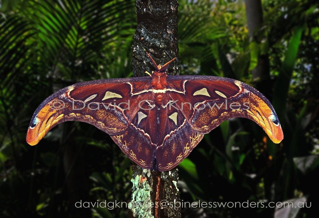 The famous Asian Atlas moth has an amazing feature that appears to be rarely commented on. Throughout all of its range cobras occur. The moth during the daytime rests on low shrubs in the forest with its forewings lowered as seen above. However if disturbed it rapidly raises its forewings to 'mimic' two cobras in profile with flared neck and similar markings all to scale. The Atlas moth has a broad distribution extending from the Oriental tropics to Borneo and Indonesia extending as far east as New Guinea