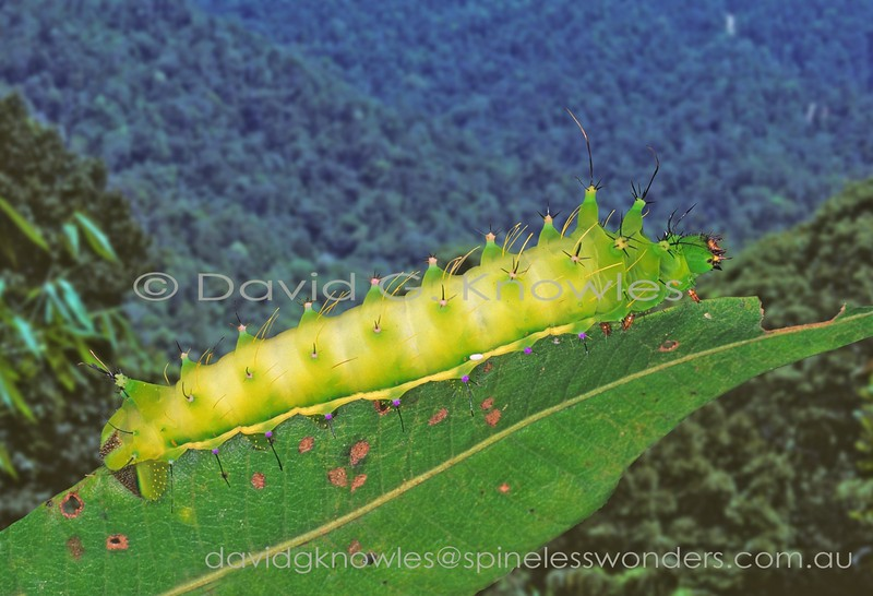Emperor Moth caterpillars are generally smooth with prominent paired tubercles. The egg of a parasitoid wasp or fly is visible on the lower mid flank which does not bode well