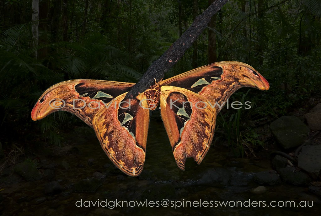 The famous Asian Atlas moth has an amazing feature that appears to be rarely commented on. Throughout all of its range occur cobras. The moth during the daytime rests on low shrubs in the forest with its forewings lowered as seen above. However if disturbed it rapidly raises its forewings to 'mimic' two cobras in profile with flared neck and similar markings all to scale. This also works from the reverse direction as seen here. The Atlas moth has a broad distribution extending from the Oriental tropics to Borneo and Indonesia extending as far east as New Guinea