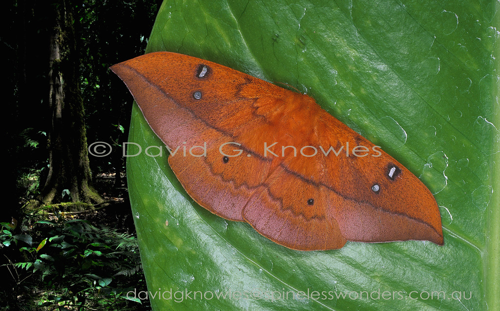 Well known as a pest of mangos the natural range of this dead leaf camouflaging moth ranges from India and the Philippines, south east to north-eastern Australia. It has also been accidentally introduced into equatorial Africa and South America. Cricula Silkmoths were also accidently introduced into New Guinea. This is a female