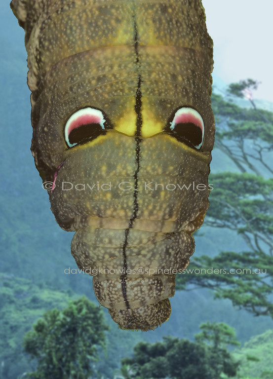 Many hawkmoth caterpillars sport false vertebrate eyes which may, or may not, be on permanent display. This widespread Theretra employs the 'surprise version' whereby the 'eyes' are hidden beneath a forebody segment and suddenly revealed by stretching the head forward. Theretra latreillii is widespread extending from India, China, Thailand, Malaysia, Indonesia east to Fiji, New Guinea and northern Australia