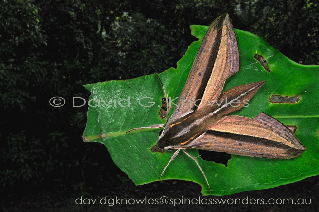 As with most hawkmoths this species' caterpillars are generally smooth and bear a 'horn' at their rear ends. Another feature common to most caterpillars are their broad host plant tastes combined with ground colour variability ranging through shades of green to yellow and brown. Theretra silhetensis has a broad range extending from India, Sri Lanka, Thailand, Malaysia, Borneo, Indonesia south east to New Guinea, northern and eastern Australia then into the western Pacific including the Solomon Islands, Fiji Islands and Vanuatu