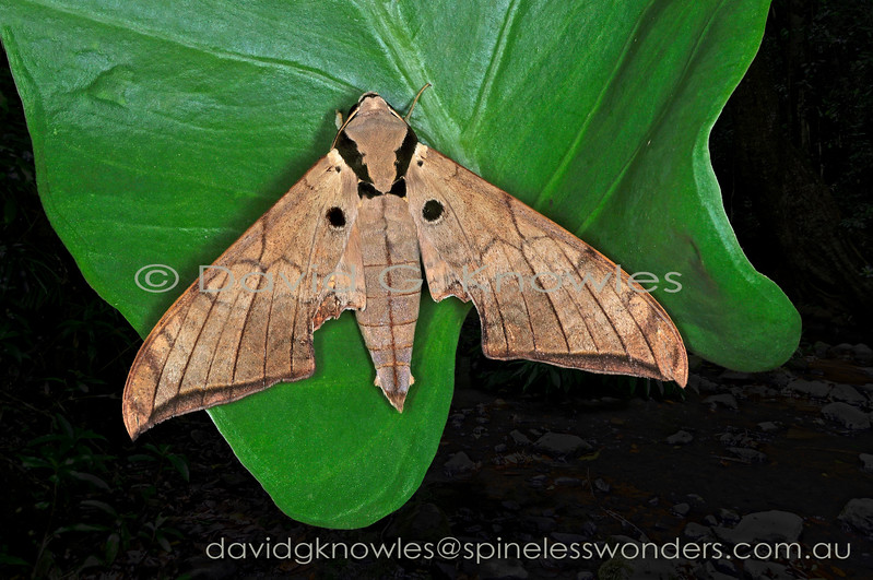 The Hawkmoth Family contains over 1,450 described species most of which hold their dead leaflike forewings at rest like this species. The hindwings are usually obscured and may be of muted to bright coloration and contrasting patterns. Ambulyx wildei extends from eastern Indonesia to New Guinea and then south to north eastern Queensland, Australia