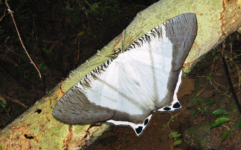 This handsome species is poorly known with the few specimens collected originating from highland localities in West Papua. This individual was photographed by Norm Pinsky in the highlands over the border in Papua. Cyphura (Cyphura) semiobsoleta is endemic to New Guinea