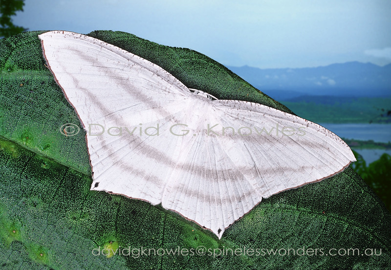The majority of swallowtail moths do not have 'swallow' tails on their hindwings though there is usually some hint of where they might develop or, conversely, may have been. Acropteris inchoata extends from eastern Indonesia to New Guinea