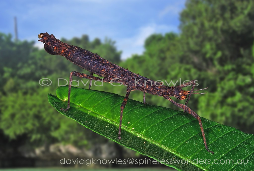 New Guinea stick Insect Dimorphodes prostasis laying egg. Dimorphodes prostasis extends from Peninsular Malaysia east into the islands of Indonesia and far as New Guinea and as far north as the Philippines. The subspecies 'serripes' occurs east of the Wallace Line from Sulawesi to New Guinea