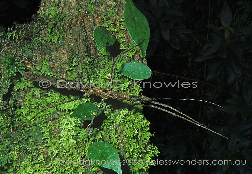 Neopromachus insignis TBC stick insect showing fallen thorny stick camouflage. The shorter left foreleg is regrown
